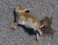 20150705_01 European rabbit (Oryctolagus cuniculus) who had been hit by a car :'( | Near Holmhällar, Gotland, Sweden (ratexla) Tags: ratexla'sgotlandtrip2015 nonhumananimal gotland 5jul2015 2015 canonpowershotsx50hs holmhällar sweden sverige scandinavia scandinavian europe beautiful earth tellus photophotospicturepicturesimageimagesfotofotonbildbilder europaeuropean summer travel travelling traveling norden nordiccountries roadtrip journey vacation holiday semester resaresor nature rabbit rabbits oryctolaguscuniculus wild vild vilda wildlife vildkanin vildkaniner kanin kaniner djur nonhumananimals animal animals cute cool organism life biology zoology ontheroad sommar corpse corpses death dead deceased decay död döden lik morbid sad roadkill