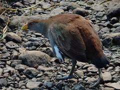 Tasmanian Native Hen (mikecogh) Tags: richmond tasmania nativehen stones beak yellow beady eye