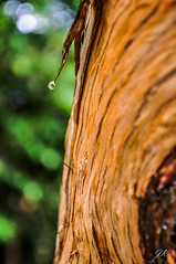 Droplet, Tenerife, Canary Islands (podrozuje) Tags: tenerife canary island spain autumn winter rain drop droplet forest green brown tree timber trunk dew mountain anaga laguna close up macro blue hazy bokeh nature outdoors trip explore peace