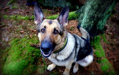Yes. (Papa Razzi1) Tags: 8866 2017 069365 guarddog germanshepherd winter march dog fm xperiax atwork