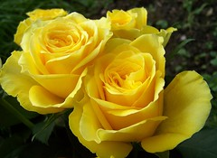 Roses (ERIK THE CAT Struggling to keep up) Tags: flowers stafford roses doublefantasy ngc