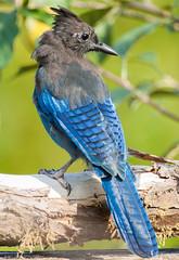 Steller's Jay (Peter Bangayan) Tags: