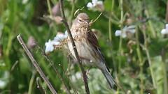 Linotte mlodieuse, Af (R, 2014-05-04_24) (th_franc) Tags: oiseau linottemlodieuse