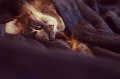 Just Sleep (Casey Christi) Tags: sleeping pet cute animal cat 35mm nikon kitten feline sleep kitty sleepy blanket kawaii aww neko furbaby kittycat d7000 nikond7000
