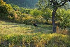 reggeli vadászat /  morning hunting (debreczeniemoke) Tags: summer dog tree grass meadow kutya fa mornig nyár frakk reggel fű rét transylvanianhound erdélyikopó olympusem5