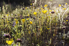 Spring wildflowers at sunset (Astrnomo) Tags: sunset arizona lake phoenix spring wildflower