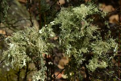 Newly revived Lichens growing on a shrub of Chamise (Adenostoma fasciculatum, Rosaceae) (Treebeard) Tags: california lichen santabarbaracounty adenostomafasciculatum chamise rosaceae sanmarcospass