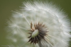 Dandelion Head (Sharon Wills) Tags: life summer white plant abstract flower macro green nature floral beautiful beauty closeup season one spring stem flora soft natural blossom head seed fluffy fresh dandelion single botanic summertime botany stalk clocks isolated makeawish dandelionclock greenbackground pappus macroflower dandelionseed achenes dandelionflower blowballs singledandelion dandelionisolated sphericalseedheads isolateddandelion