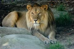 Afrikaanse leeuw - Panthera leo leo - African Lion (MrTDiddy) Tags: male cat mammal zoo big kat feline leo african lion bigcat antwerp antwerpen zooantwerpen grote nestor leeuw panthera mannelijk zoogdier afrikaanse grotekat anwerpzoo