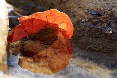 Voilà que ma vie s'achève alors que j'ai trouvé ma moitié (Emmanuelle2Aime2Ailes) Tags: macro rivière reflet feuillemorte