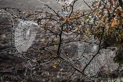 Cobweb_2 (GraemeR1) Tags: morning autumn nature misty seasons spiders cobweb delicate intricate
