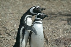 Argentina - Magellanic Penguins © Dreamstime