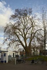 Wijgmaal_plataan_IMG_6737 (Flanders Heritage Agency) Tags: leuven bomen plataan snoeien wijgmaal