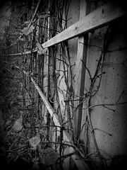 plant-growing-on-wall--pics-from-CSHL--DSC01344DSC06698 (mbgmbg) Tags: grid series cshl holgaish kw2flickr kwgooglewebalbum takenbymarkgerstein kwpotppt kwphotostream5 i0gi2015 seriesi0gi2015upload