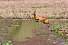 """Jumping"" Puku at Mfuwe bushcamp waterholes, South Luangwa, Zambia. (One more shot Rog) Tags: nature animals flying high jump jumping shot wildlife safari more antelope roger sargent rog antelopes southluangwa puku mfuwe bushcamps pukus photographyone mfuwebushcamp"