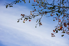 December Sky (maida0922) Tags: california blue autumn winter sky tree fall leaves sandiego lajolla foliage sycamore fallen ucsd a7r sonnartfe55mmf18