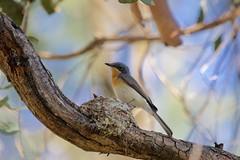 0I6A7384 Leaden Flycatcher (Female attending a nest) (copsychus) Tags: bird birds australia breeding canberra act nesting 2015 leadenflycatcher pineislandreserve