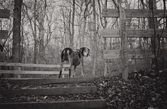 50/52 leading the way (huckleberryblue) Tags: autumn trees blackandwhite dog leaves gracie hiking hound coonhound week50 bluetickcoonhound 52weeksfordogs