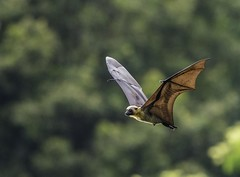Seychelles Flying Fox (Ken Behrens) Tags: africa nature islands wildlife birding indianocean naturalhistory comoros anjouan endemism indianoceanislands endemics tropicalbirding kenbehrens lescomores