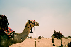 Camel (Past Our Means) Tags: travel film 35mm canon pyramid kodak ae1 egypt camel 400 portra giza indiefilmlab