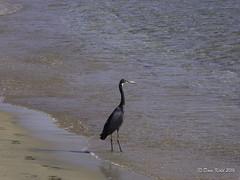 Non Stripey Bird 3 (someofmypics) Tags: hiltonfayrouz naamabay egypt nonstripeybird anthiasdivers redsea