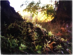 (Ruth Nicholas) Tags: treeroots vinecoveredroots leafyvines grassy prettysunshine sprinklesofsun softtones peacefulnature sweetfairyland woods woodlands prettycolors gentlegreen yellow orange