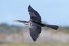 Dart (PeterBrannon) Tags: anhinga anhingaanhinga bird circlebbarreserve darter florida lakeland nature snakebird wildlife inflight