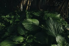 Green world. (Giuseppe Chirico) Tags: nature green colorsinourworld color colour leaf morning plants ground photography art shadow shadows light lights details detail canon eos 600d