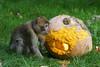 monkey with a big pumpkin - Barbary Macaque - Berberaffe (okrakaro) Tags: monkey bigpumpkin barbarymacaque happyhalloween 112017 groser risiger kürbis animal nature natur zoo 2015 germany