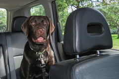 Are we there yet??? (TonyinAus) Tags: dog travel labrador pet