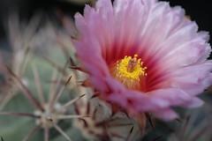 cactus flower/サボテンの花 (kurupa_m) Tags: cactus flower plant xt10 サボテン pink ピンク 北大植物園 温室