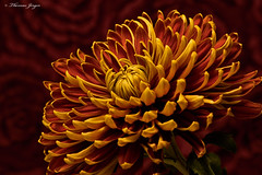 Football Mum 1129 Copyrighted (Tjerger) Tags: nature beautiful beauty black bloom brown closeup fall flora floral flower green macro mum orange petals plant portrait red stem wisconsin yellow footballmum football darkbackground natural