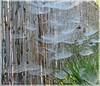 Naturwunder * Natural wonder * Maravilla de naturaleza *   . P1330398-001 (maya.walti HK) Tags: 111216 2016 copyrightbymayawaltihk decoracióndelanaturaleza flickr natur naturdekorationen naturregenschirme naturaleza nature naturedecorations panasoniclumixfz200 paraguasdelanaturaleza schirme spiderwebs spinnweben telarañas umbrellas