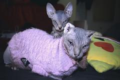 Family cats. (yuly9751) Tags: camara canon contraste cute cats gatocalvo spynxcat babycat familycats shoot shooting spynx photograpy photo portrait
