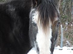 DSCN3663 (keepps) Tags: switzerland suisse schweiz vaud bogisbossey winter animal horse