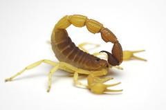 Parabuthus capensis (South Africa) ♂ adult (ScorpionsExplored) Tags: southafrica venomous invertebrate buthidae scorpion