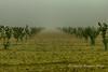 Nuova piantagione senza fine (Gianni Armano) Tags: nuova piantagione senza fine foto nebbia gianni armano photo flickr
