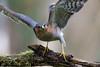 Permis de tuer - Licence to kill (Jacques GUILLE) Tags: 09 accipiternisus accipitridés accipitriformes ariège domainedesoiseaux epervierdeurope eurasiansparrowhawk jacquesguille mazères bird oiseau épervier
