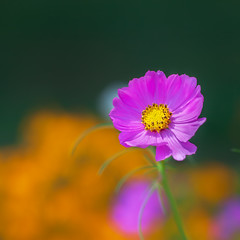 20150731_garden flowers_0120ee (zoomclic) Tags: canon closeup colorful flower foliage flowers dof dreamy cosmos zinnia orange outdoors yellow green garden pink 5dmarkii 7d ef85mmf12liiusm nature bokeh zoomclicphotography