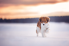 Winterdreams (S. Elschner) Tags: abendlicht kooiker kooikerhondje schnee sonne action sunset sundown snow winter sun dog outdoor shy beautiful intense canon 135mm