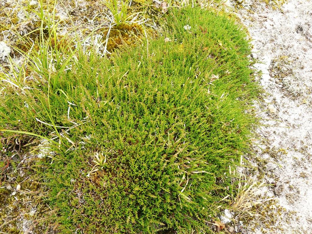 Calluna vulgaris-Besenheide2