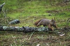 _DSC6661 (jpasserieux) Tags: ecureuil saut fuite