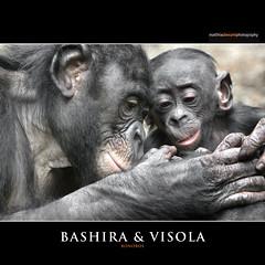 BASHIRA & VISOLA (Matthias Besant) Tags: affe affen affenfell animal animals ape apes pygmychimpanzee fell zwergschimpanse hominidae hominoidea mammal mammals menschenaffen menschenartig menschenartige monkey monkeys primat primaten saeugetier saeugetiere tier tiere trockennasenaffe bonobo schauen blick blicken augen eyes look looking baby bashira visola bonobobaby child kind zoo zoofrankfurt matthiasbesant hessen deutschland