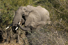Mother and baby (crafty1tutu (Ann)) Tags: travel holiday southafrica africa african 2016 animal elephant motherandbaby crafty1tutu canon7dmkii ef100400mmf4556lisiiusm anncameron wild inthewild free roamingfree naturethroughthelens naturescarousel