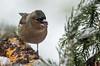 Il pleut, il neige sur le jardin (Seix/Ariège) (PierreG_09) Tags: ariège pyrénées pirineos couserans faune oiseau pinson pinsondesarbres fringillacoelebs commonchaffinch passériformes fringillidés pinzónvulgar peippo eu seix jardin