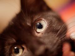 New kitten! (Craigeye) Tags: kitten cat cateye eyes whiskers
