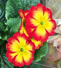 Red and gold (Steve-h) Tags: nature pretty colour colours bright serene red gold yellow pink textured green leaves texture flowershop cameraphone appleiphone6s winter january 2017 dublin ireland europe steveh