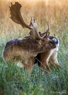 Dama dama / Fallow deer / Лань / Dåhjort