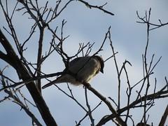 Something Interesting Down There (Chic Bee) Tags: birds backyard tree branch mockingbird canonsx60hs wintermonsoon winter monsoon tucson arizona southwesternusa americansouthwest america northamerica