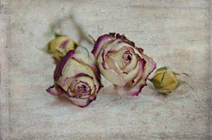 A Rose Is A Rose (catmccray) Tags: roses stilllife romantic girly shabbychic